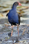 purple-swamphen-picture;purple-swamphen;porphyrio-porphyrio;swamphen;gallinule;australian-birds;australian-swamphen;single;one;purple;lilyponds;mapleton;queensland;steven-david-miller;natural-wanders
