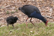 purple-swamphen-picture;purple-swamphen;purple-swamphen-chick;purple-swamphen-parent-with-chick;australian-birds;australian-swamphen;baby-bird;porphyrio-porphyrio;bundaberg-botanical-gardens;bundaberg;queensland;steven-david-miller;natural-wanders