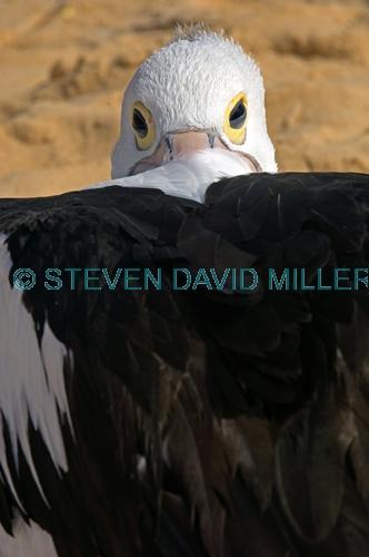 australian pelican picture;australian pelican;pelican;pelecanus conspicillatus;pelican sleeping on beach;pelican sleeping beside the water;pelican sleeping;bird sleeping;sleeping;steven david miller;monkey mia;shark bay;western australia;natural wanders