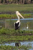 australian-pelican-flying;australian-pelican;pelecanus-conspicillatus;pelican-on-floodplain;wetland;south-alligator-river;kakadu-birds;yellow-waters;yellow-waters-cruise;kakadu-national-park;steven-david-miller;northern-territory;natural-wanders