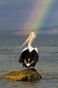 australian-pelican-picture;australian-pelican;pelecanus-conspicillatus;pelican-standing-on-rock;pelican-and-rainbow;rainbow;rainbow-over-water;boston-bay;port-lincoln;lincoln-national-park;south-australia;eyre-peninsula;steven-david-miller;natural-wanders