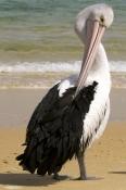 australian-pelican-picture;australian-pelican;pelecanus-conspicillatus;australian-pelican-preening;pelican-preening;bird-preening-feathers;tangalooma-resort;moreton-island-national-park;queensland-islands;sand-island;queensland-sand-island;steven-david-miller;natural-wanders