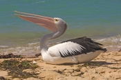 australian-pelican-picture;australian-pelican;pelican;pelecanus-conspicillatus;pelican-carrying-seaweed;pelican-playing-with-seaweed;pelican-playing;steven-david-miller;monkey-mia;shark-bay;western-australia;natural-wanders
