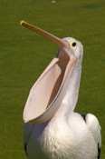 australian-pelican-picture;australian-pelican;pelican;pelecanus-conspicillatus;pelican-with-open-pouch-bill;pelican-bill;pelican-pouch;pelican-beak;steven-david-miller;monkey-mia;shark-bay;western-australia;natural-wanders