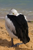 australian-pelican-picture;australian-pelican;pelican;pelecanus-conspicillatus;pelican-sleeping-on-beach;pelican-sleeping-beside-the-water;pelican-sleeping;bird-sleeping;sleeping;steven-david-miller;monkey-mia;shark-bay;western-australia;natural-wanders
