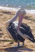 australian-pelican-picture;australian-pelican;pelican;pelecanus-conspicillatus;pelican-preening-on-beach;pelican-preening-beside-the-water;pelican-preening;bird-preening;preening;steven-david-miller;monkey-mia;shark-bay;western-australia;natural-wanders
