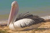 australian-pelican-picture;australian-pelican;pelican;pelecanus-conspicillatus;pelican-standing-on-beach;pelican-beside-the-water;steven-david-miller;monkey-mia;shark-bay;western-australia;natural-wanders