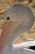 australian-pelican-picture;australian-pelican;pelican;pelecanus-conspicillatus;pelican-standing-on-beach;pelican-beside-the-water;steven-david-miller;monkey-mia;shark-bay;western-australia;natural-wanders;pelican-portrait;pelican-head
