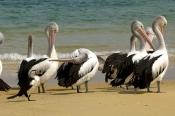 australian-pelican-picture;australian-pelican;pelecanus-conspicillatus;australian-pelicans-preening;pelicans-preening;pelican-flock;flock-of-pelicans;tangalooma-resort;moreton-island-national-park;queensland-islands;sand-island;queensland-sand-island;steven-david-miller;natural-wanders