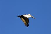 australian-pelican-picture;australian-pelican;pelican;pelecanus-conspicillatus;pelican-flying;pelican-in-flight;bird-flying;cooper-creek;innamincka;innamincka-regional-reserve;south-australia;strzelecki-track;steven-david-miller;natural-wanders