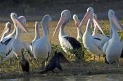 australian-pelican-picture;australian-pelican;pelican;pelecanus-conspicillatus;pelicans;pelicans-in-group;pelican-flock;flock-of-pelicans;cooper-creek;innamincka;innamincka-regional-reserve;south-australia;strzelecki-track;steven-david-miller;natural-wanders