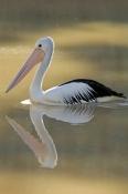 australian-pelican-picture;australian-pelican;pelican;pelecanus-conspicillatus;pelican;pelican-swimming;pelican-in-water;cooper-creek;innamincka;innamincka-regional-reserve;south-australia;strzelecki-track;steven-david-miller;natural-wanders;reflection