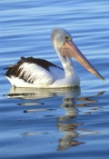 australian-pelican-picture;australian-pelican;pelecanus-conspicillatus;pelican-swimming;pelican-in-water;pelican-in-breeding-colours;pelican-in-breeding-colors;breeding-pelican;kangaroo-island;south-australia;steven-david-miller;natural-wanders