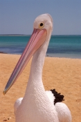 AUSTRALIA;BEACHES;BIRDS;COASTS;PELICANS;PORTRAITS;SEABIRDS;VERTEBRATES