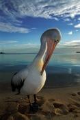 AUSTRALIA;BEACHES;BIRDS;GROOMING;LANDSCAPES;PELECANUS-CONSPICILLATUS;PELICANS;SEABIRDS;VERTEBRATES;VERTICAL