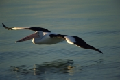 AUSTRALIA;BIRDS;FLYING;INDIAN-OCEAN;PELECANUS-CONSPICILLATUS;PELICANS;PORTRAITS;REFLECTIONS;SEABIRDS;VERTEBRATES;WATER