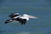 AUSTRALIA;BIRDS;COASTS;FLYING;HORIZONTAL;PELECANUS-CONSPICILLATUS;PELICANS;RESERVE;SEABIRDS;VERTEBRATES