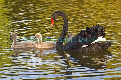 black swan picture;black swan;black swan with signet;black swan signet;black swan family;cygnus atratus;perth;western australia;western australia state bird;steven david miller;natural wanders
