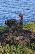 black-swan-picture;black-swan;cygnus-atratus;black-swan-egg;black-swan-on-nest;nesting-black-swan;swan-on-nest;swan-with-egg;egg-in-nest;paynesville;victoria;state-bird-of-western-australia;western-australia-state-bird;steven-david-miller;natural-wanders