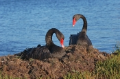 black-swan-picture;black-swan;cygnus-atratus;black-swan-pair;black-swan-mating-pair;black-swans-on-nest;nesting-black-swans;nesting-black-swan;swan-on-nest;paynesville;victoria;state-bird-of-western-australia;western-australia-state-bird;steven-david-miller;natural-wanders