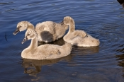 black-swan-picture;black-swan;black-swan-cygnet;cygnet;cygnus-atratus;black-swan-swimming;cignet-swimming;western-australia-emblem;state-bird-of-western-australia;perth-lake;perth-park;steven-david-miller;natural-wanders