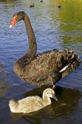 black-swan-picture;black-swan;black-swan-with-signet;black-swan-signet;black-swan-family;cygnus-atratus;perth;western-australia;western-australia-state-bird;steven-david-miller;natural-wanders