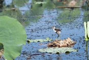 comb-crested-jacana-picture;comb-crested-jacana;comb-crested-jacana;jacana;irediparra-gallinacea;australian-jacana;comb-crested-jacana-chicks;comb-crested-jacana-chicks;chicks;baby-birds;bird-with-big-feet;cute-baby-bird;cute-baby-animal;bird-on-lily-pad;lotus-bird;corroboree-billabong;mary-river;wetland;northern-territory;australian-birds;steven-david-miller;natural-wanders