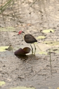 comb-crested-jacana-picture;comb-crested-jacana;comb-crested-jacana;jacana;irediparra-gallinacea;australian-jacana;bird-with-big-feet;bird-with-red-crest;bird-with-red-comb;bird-on-lily-pad;kakadu-national-park;south-alligator-river;yellow-waters;yellow-waters-cruise;far-north;northern-territory;australian-birds;australian-national-parks;steven-david-miller;natural-wanders