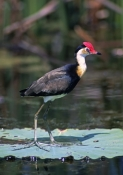 comb-crested-jacana-picture;comb-crested-jacana;comb-crested-jacana;jacana;irediparra-gallinacea;australian-jacana;bird-with-big-feet;bird-with-red-crest;bird-with-red-comb;bird-on-lily-pad;fogg-dam-conservation-reserve;australian-conservation-reserves;far-north;northern-territory;australian-birds;steven-david-miller;natural-wanders
