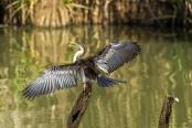 australian-darter;anhinga