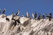 black-faced-cormorant-picture;black-faced-cormorant;black-faced-cormorant;phalacrocorax-fuscescens;black-faced-shag;australian-birds;australian-cormorants;cormorant;shag;colony-of-cormorants;colony-of-birds;cormorant-colony;bird-colony;bay-of-islands;bruny-island;tasmania;steven-david-miller;natural-wanders