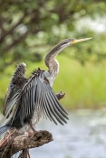 darter-picture;darter;anhinga-melanogaster;anhinga;darter-drying-wings;darter-wings;bird-wings;bird-drying-wings;bird-spreading-wings;australian-birds;australian-anhingas;australian-darters;yellow-waters;kakadu-national-park;northern-territory;australian-anhingas;australian-darters;steven-david-miller