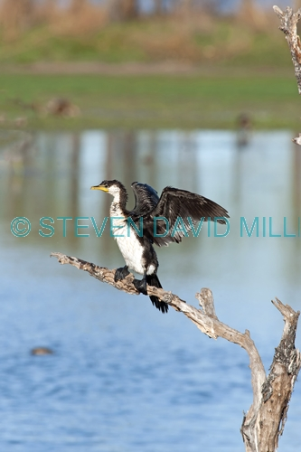 juvenile little pied cormorant picture;juvenile little pied cormorant;little pied cormorant;cormorant;little pied cormorant drying wings;phalacrocorax melanoleucos;parry lagoons nature reserve;marlgu billabong;ramsar wetland;ramsar wetland of international importance;wyndham;the kimberley;kimberley;western australia;australian nature reserves;australian cormorants;steven david miller;natural wanders