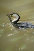 little-pied-cormorant-picture;little-pied-cormorant;little-pied-cormorant;cormorant;little-pied-cormorant-eating;cormorant-eating;phalacrocorax-melanoleucos;cormorant-with-food;bird-with-food;cormorant-catching-food;bird-catching-food;australian-cormorants;wildlife-habitat;port-douglas;north-queensland;queensland;steven-david-miller;natural-wanders