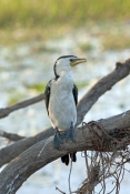 little-pied-cormorant-picture;little-pied-cormorant;cormorant;little-pied-cormorant-on-tree;cormorant-in-tree;phalacrocorax-melanoleucos;south-alligator-river;yellow-waters;yellow-waters-cruise;kakadu-national-park;northern-territory;australian-cormorants;australian-national-parks;steven-david-miller;natural-wanders