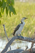 little-pied-cormorant-picture;little-pied-cormorant;cormorant;little-pied-cormorant-on-tree;cormoran