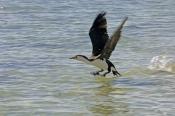 pied-cormorant-picture;pied-cormorant;phalcrococorax-varius;cormorant;bird-in-flight;bird-landing-on-water;australian-cormorant;australian-cormorants;cormorant-flying;cormorant-in-flight;cormorant-inflight;monkey-mia;shark-bay;western-australia;steven-david-miller;natural-wanders