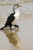 pied-cormorant-picture;pied-cormorant;pied-cormorants;phalcrococorax-varius;cormorant;cormorants;bird-on-beach;cormorant-standing;australian-cormorant;australian-cormorants;moreton-island-national-park;moreton-island;tangalooma-resort;queensland;steven-david-miller;natural-wanders