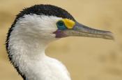 pied-cormorant-picture;pied-cormorant;pied-cormorants;phalcrococorax-varius;cormorant;cormorants;bird-on-beach;cormorant-standing;australian-cormorant;australian-cormorants;cormorant-head-shot;bird-head-shot;cormorant-eye;birds-eye;moreton-island-national-park;moreton-island;tangalooma-resort;queensland;steven-david-miller;natural-wanders