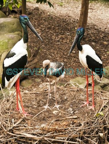 black-necked stork picture;black-necked stork;black necked stork;black neck stork;jabiru;ephippiorhynchus asiaticus;stork nest;stork breeding pair;stork with chick;stork family;stork male and female;australian stork;australian bird;large bird;big bird;red legs;long bill;long beak;sedate;elegant;family;vertical picture of storks;vertical picture of jabirus;steven david miller;natural wanders