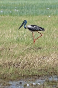 black-necked-stork-picture;black-necked-stork-picture;black-necked-stork;black-necked-stork;jabiru;australian-stork;wetland;wetland-scene;corroboree-billabong;mary-river-wetland;mary-river;northern-territory;northern-territory-wetland;australia;steven-david-miller