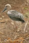 black-necked-stork-picture;black-necked-stork-picture;black-necked-stork;black-necked-stork;ephippio