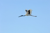 black-necked-stork-picture;black-necked-stork-picture;black-necked-stork;black-necked-stork;jabiru;a
