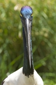 black-necked-stork-picture;black-necked-stork-picture;black-necked-stork;black-necked-stork;jabiru;australian-stork;stork-standing;stork-head;stork-bill;stork-head-shot;female-black-necked-stork;perth-zoo;western-australia;steven-david-miller;natural-wanders