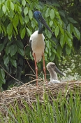 black-necked-stork-picture;black-necked-stork;black-necked-stork;black-neck-stork;jabiru;female-black-necked-stork;black-necked-stork-fledgling;ephippiorhynchus-asiaticus;australian-stork;stork-on-nest;stork-with-chick;wildlife-habitat;rainforest-habitat;port-douglas;north-queensland;queensland;steven-david-miller;natural-wanders