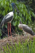 black-necked-stork-picture;black-necked-stork;black-necked-stork;black-neck-stork;jabiru;female-black-necked-stork;black-necked-stork-fledgling;ephippiorhynchus-asiaticus;australian-stork;stork-on-nest;stork-with-chick;stork-feeding-chick;bird-feeding-chick;wildlife-habitat;rainforest-habitat;port-douglas;north-queensland;queensland;steven-david-miller;natural-wanders