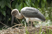 black-necked-stork-picture;black-necked-stork;black-necked-stork;black-neck-stork;jabiru;black-necked-stork-fledgling;ephippiorhynchus-asiaticus;australian-stork;stork-on-nest;stork-fledgling;stork-chick;wildlife-habitat;rainforest-habitat;port-douglas;north-queensland;queensland;steven-david-miller;natural-wanders