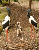 black-necked-stork-picture;black-necked-stork;black-necked-stork;black-neck-stork;jabiru;ephippiorhynchus-asiaticus;stork-nest;stork-breeding-pair;storks-displaying;stork-with-chick;stork-family;stork-male-and-female;australian-stork;australian-bird;large-bird;big-bird;red-legs;long-bill;long-beak;sedate;elegant;family;vertical-picture-of-storks;vertical-picture-of-jabirus;steven-david-miller;natural-wanders