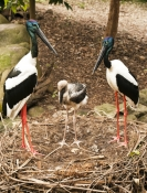 black-necked-stork-picture;black-necked-stork;black-necked-stork;black-neck-stork;jabiru;ephippiorhynchus-asiaticus;stork-nest;stork-breeding-pair;stork-with-chick;stork-family;stork-male-and-female;australian-stork;australian-bird;large-bird;big-bird;red-legs;long-bill;long-beak;sedate;elegant;family;vertical-picture-of-storks;vertical-picture-of-jabirus;steven-david-miller;natural-wanders