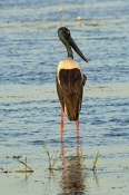 black-necked-stork-picture;black-necked-stork-picture;black-necked-stork;black-necked-stork;jabiru;australian-stork;wetland;wetland-scene;black-necked-stork-female;black-necked-stork-hunting-foraging-in-water;stork-standing-in-water;ephippiorhynchus-asiaticus;kakadu-birds;kakadu-national-park;northern-territory;steven-david-miller;natural-wanders